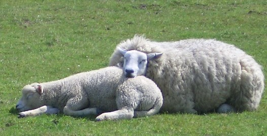 http://www.donfeidner.de/assets/images/7793_Mama_and_baby_sheep.jpg