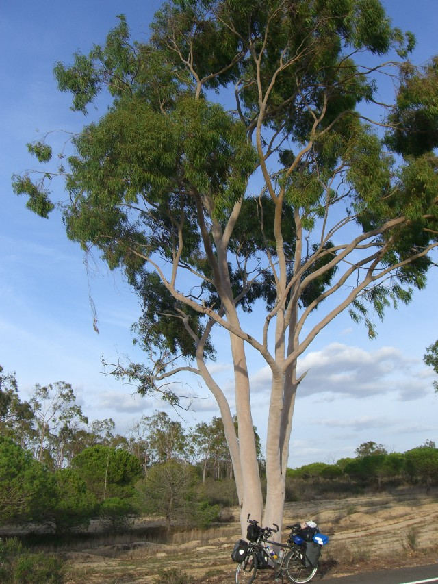 Planting Under Eucalyptus Trees : What i really hated were the scorpions spiders and snakes